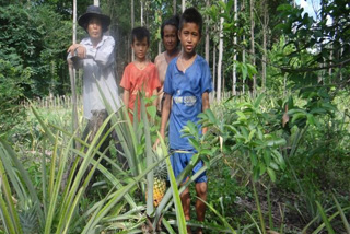 パイナップルの栽培