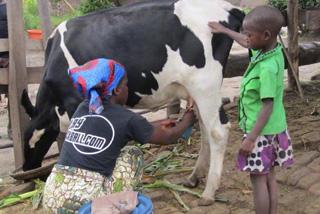 133頭の乳牛を貧しい世帯に支援